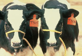 Calves Produced from a Heifer via ET